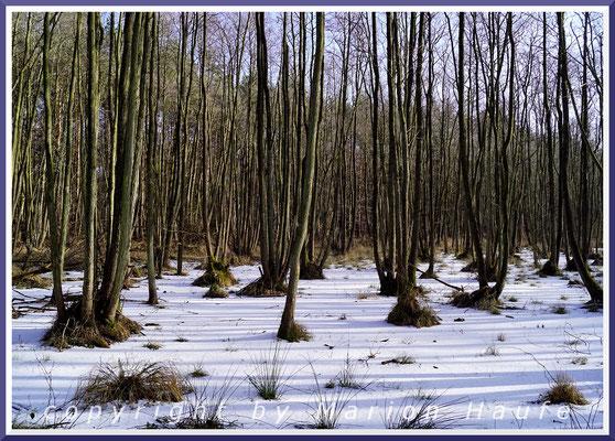 Erlenbruch im Winter, Darß/Mecklenburg-Vorpommern.