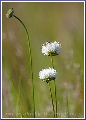 Weiße Blüten des Berg-Sandglöckchens (Jasione montana) sind eine Ausnahmeerscheinung, 29.06.2020, Darßer Ort/Mecklenburg-Vorpommern.