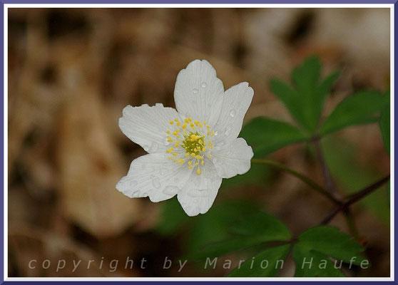 Im Frühling kann man g-Gestell Weiße Buschwindröschen (Anemone nemorosa) bestaunen, 25.04.2015, Darßwald/Mecklenburg-Vorpommern.