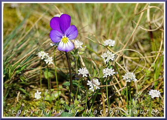 Dünen-Stiefmütterchen (Viola tricolor var. maritima) und Nacktstängeliger Bauernsenf (Teesdalia nudicaulis) am Rundwanderweg, 28.04.2018, Darßer Ort/Mecklenburg-Vorpommern.