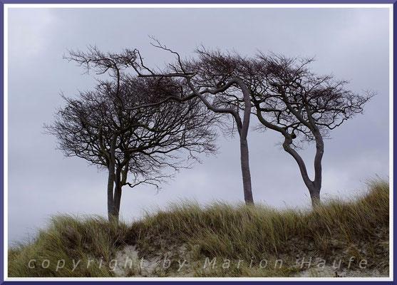 Windflüchter am Darßer Weststrand, Mecklenburg-Vorpommern.