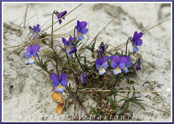 Dünen-Stiefmütterchen (Viola tricolor var. maritima), 24.04.2015, Darßer Ort/Mecklenburg-Vorpommern.