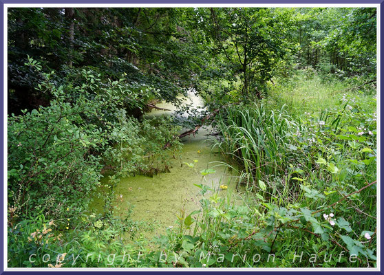 An den Ufern der Gräben im Darßwald gedeiht eine große Pflanzenvielfalt, Juni 2021, Darßwald/Mecklenburg-Vorpommern.