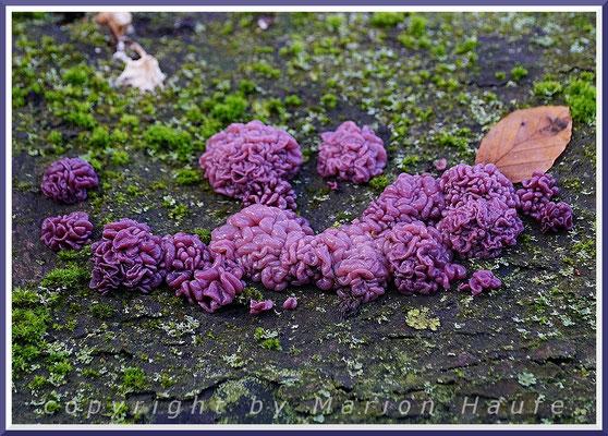 Fleischrote Gallertbecher (Ascocoryne sarcoides) wachsen oft massenhaft auf altem Rotbuchenholz, 14.11.2019, Darß/Mecklenburg-Vorpommern.