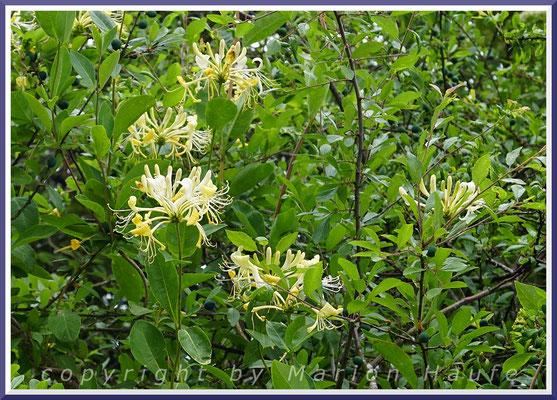 Blüten des Wald-Geißblatts (Lonicera periclymenum), 23.06.2021, Darßer Ort/Mecklenburg-Vorpommern.