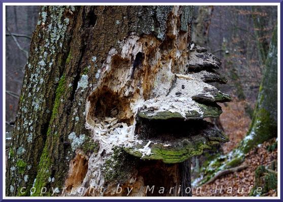Ein Schwarzspecht hat an diesem abgestorbenen Baum nach Insekten und Larven gesucht, Februar 2018, Darß/Mecklenburg-Vorpommern.