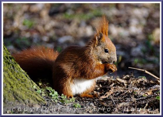 Eichhörnchen (Sciurus vulgaris), 30.03.2020, Darßer Ort/Mecklenburg-Vorpommern