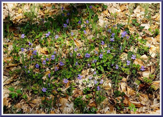 Hier und da verzieren Wald-Veilchen (Viola reichenbachiana) den Boden am g-Gestell, 29.04.2018, Darßwald/Mecklenburg-Vorpommern.