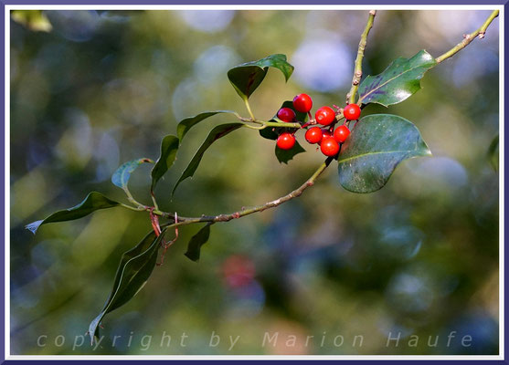 Europäische Stechpalme (Ilex aquifolium) mit Beeren im Ahrenshooper Holz, Januar.