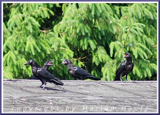 Junge Kolkraben (Corvus corax) rufen lautstark nach ihren Eltern, Prerow/Mecklenburg-Vorpommern.