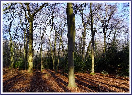 Rotbuchenbestand (Fagus sylvatica) des Ahrenshooper Holzes im Januar.