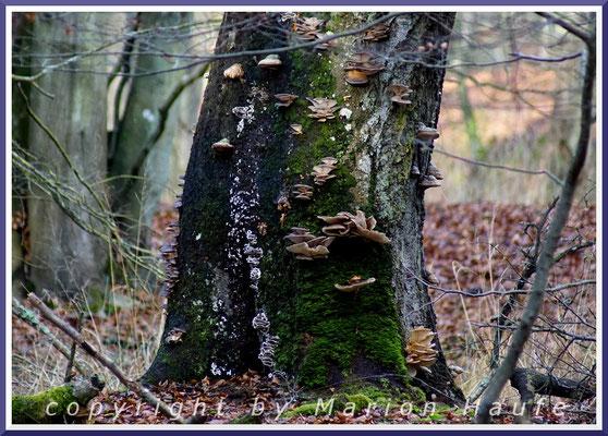 Austernseitlinge und diverse andere Pilze besiedeln den abgestorbenen Rotbuchen-Stamm, Dezember 2017, Darß/Mecklenburg-Vorpommern.