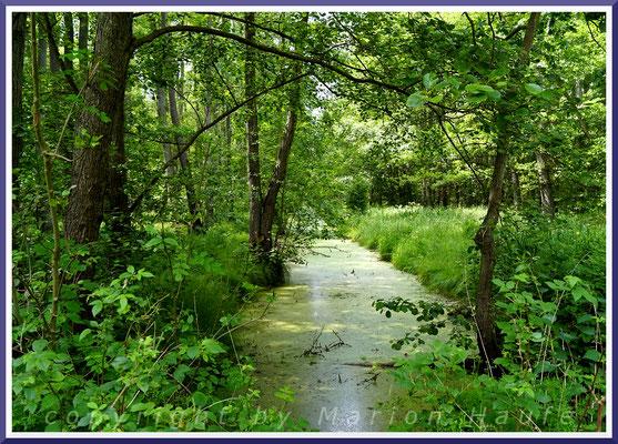 Diverse Wasserläufe durchziehen den Darßwald und sind vom g-Gestell aus einsehbar, 11.06.2019, Darß/Mecklenburg-Vorpommern.