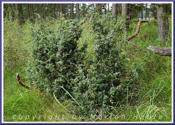 Gemeiner Wacholder (Juniperus communis) im Dünenkiefernwald, 28.08.2019, Darß/Mecklenburg-Vorpommern.