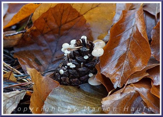 Dort, wo Nadelbäume wachsen, kann man auf Kiefernzapfen den winzigen Mäuseschwanz-Rübling (Baeospora myosura) entdecken, 19.11.2016, Darß/Mecklenburg-Vorpommern.