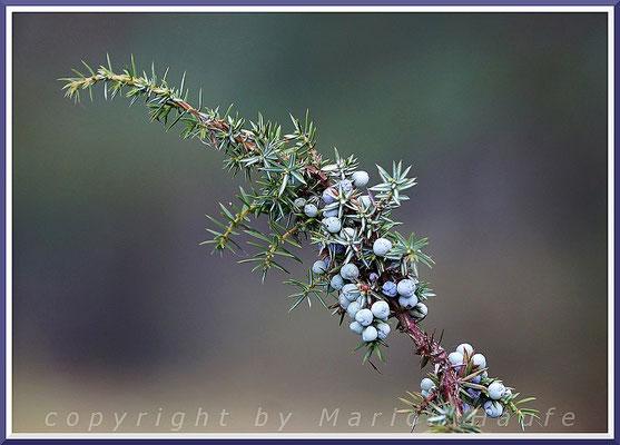 Wacholderbeeren (Juniperus communis), 07.01.2020, Darßer Ort/Mecklenburg-Vorpommern.