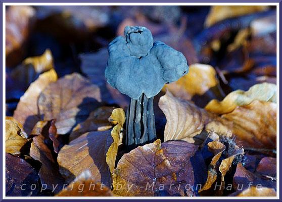 Die Gruben-Lorchel (Helvella lacunosa) ist ein häufiger Pilz im Darßwald, 14.11.2019, Darß/Mecklenburg-Vorpommern.