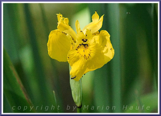 Die Gelbe Schwertlilie (Iris pseudacorus) ist eine typische Pflanze der Erlenbrüche am g-Gestell, 10.06.2017, Darßwald/Mecklenburg-Vorpommern.