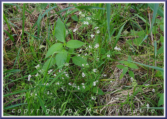 Sumpf-Labkraut (Galium palustre), 23.06.2021, Darßer Ort/Mecklenburg-Vorpommern.