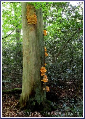 Gemeine Schwefelporlinge (Laetiporus sulphureus) im Ahrenshooper Holz, September.