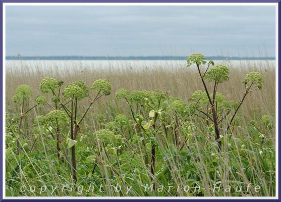 Küsten-Engelwurz (Angelica litoralis Fr.) im Schilfsaum am Saaler Bodden bei Ahrenshoop.