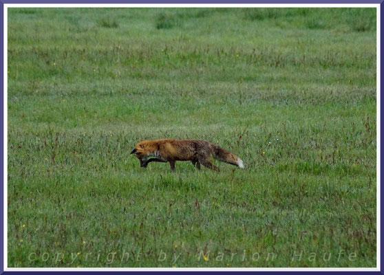 Auf der Wiese ist ein Rotfuchs (Vulpes vulpes) auf Mäusejagd, 30.05.2018, Lobbe/Rügen.