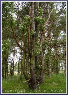 Ein Wald-Geißblatt (Lonicera periclymenum) hat eine alte Waldkiefer (Pinus sylvestris) erklommen, 23.06.2021, Darßer Ort/Mecklenburg-Vorpommern.