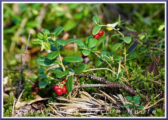 Die roten Früchte der Preiselbeere (Vaccinium vitis-idaea) zieren den Dünenkiefernwald, 27.08.2019, Darß/Mecklenburg-Vorpommern.
