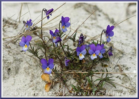 Dünen-Stiefmütterchen (Viola tricolor var. maritima) am Rundwanderweg, 24.04.2015, Darßer Ort/Mecklenburg-Vorpommern.