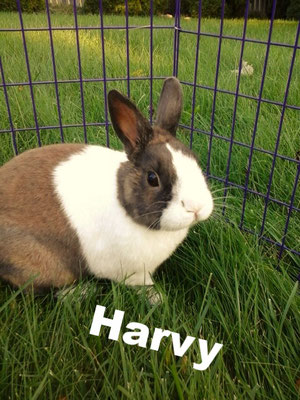 Harvy was one of my very first rabbits. He will always hold a special place in my heart. He now lives a life of luxury in a loving home with his lady friend Roxy.