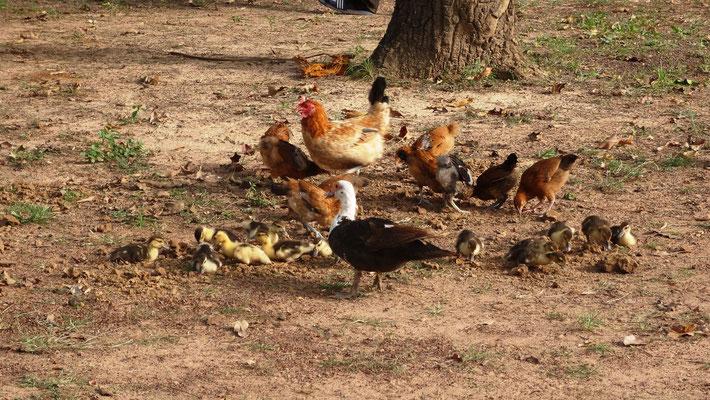 Die Missionsstation von Pfarrer Renner - Hühner und ihr Gefolge