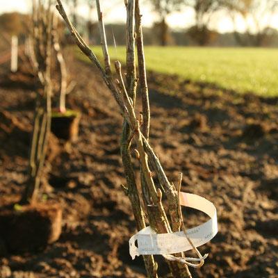 bereit zum Pflanzen: Beerensträucher (hier Schwarze Johannisbeere)