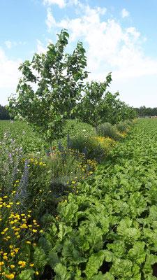 Agroforstsystem mit Blühstreifen auf dem Acker im Sommer