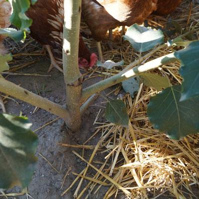 Qualitätskontrolle: die Hühner wissen es am besten