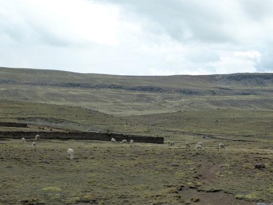 Alpacas auf dem Altiplano: Geben warme Wolle und schmecken auch ganz lecker!