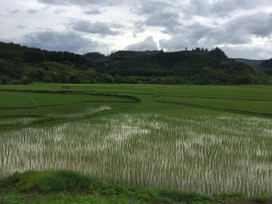 Reisfeld (unterwegs nach Luang Prabang)