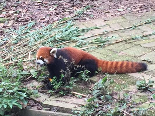 Roter Panda, Katzenbär oder Bärenkatze
