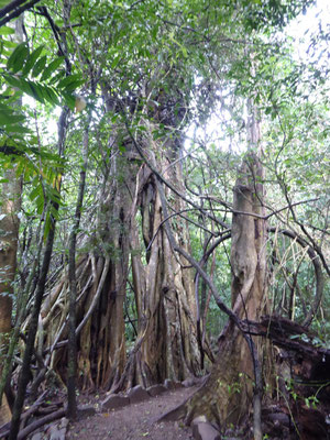Was mag sich die Natur beim Ausbilden dieser Wurzeln wohl gedacht haben?