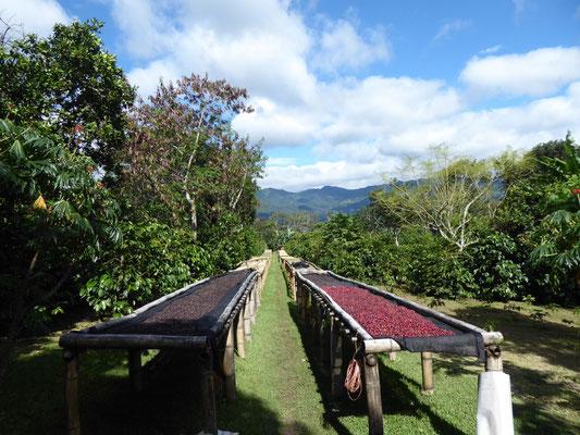 Kaffee beim Trocknen in der Sonne. Aus den getrockneten Schalen kann man leckeren Tee machen (Cascara).