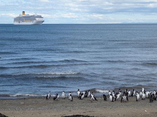 Antarktische Kormoringuine (immer noch keinen Pinguin getroffen)