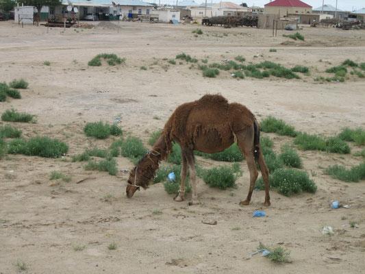 Ein Kamel, ein Kamel