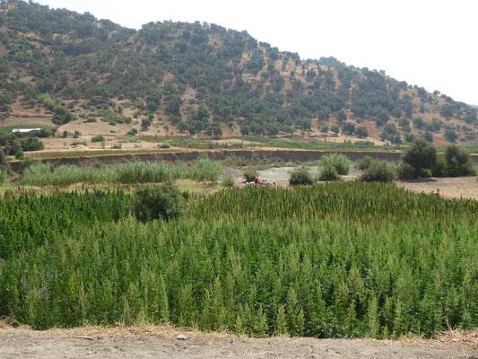 Neben Feigen und Oliven wird hier auch ganz ungeniert Hanf angebaut