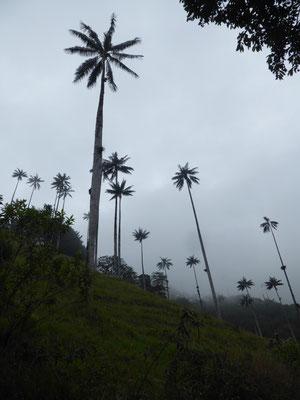Wachspalmen im Valle de Cocora, ...