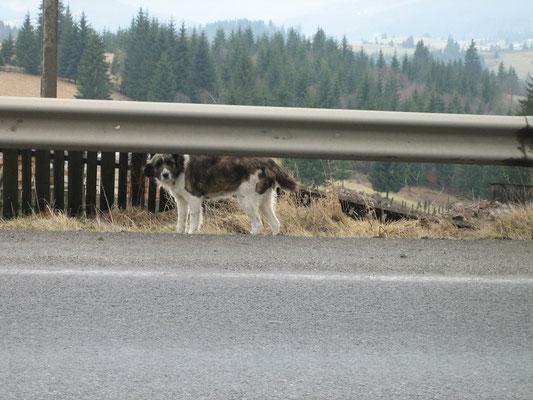 Gefährlicher Hund am Borgo-Pass