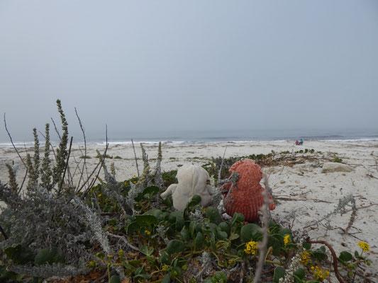 Pigs on Pebbles Beach, ...