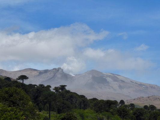 Araukarienwald mit Vulkan (dampft) im Hintergrund