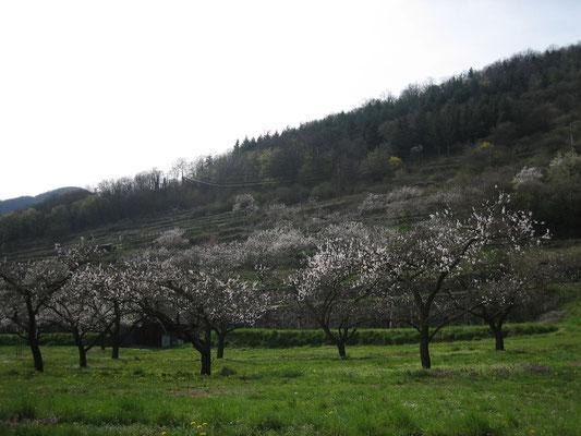 Marillenblüte in der Wachau (lockt alle Wiener am Sonntagnachmittag ins Grüne)