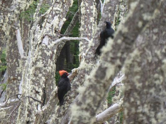 Magellanspecht (Männchen mit rotem Kopf)