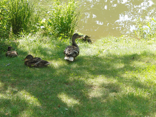 Enten in der Sonne