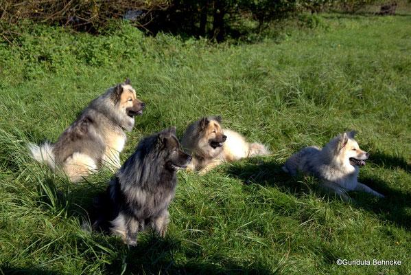 """Das """"Winter-Rudel"""": Von links: Da Qela`s BoBo, Ayko von der Peelwattau, Arnie vom Tayemoor und BoBos Tochter"""